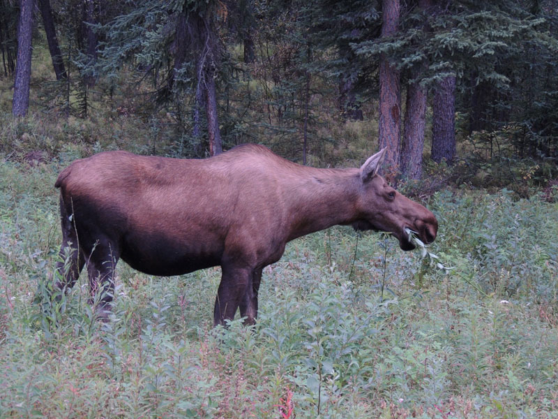 Moose Yukon Canada