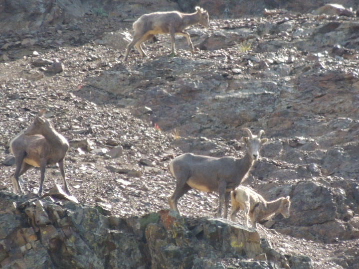 Chilcotin Mountain Goats