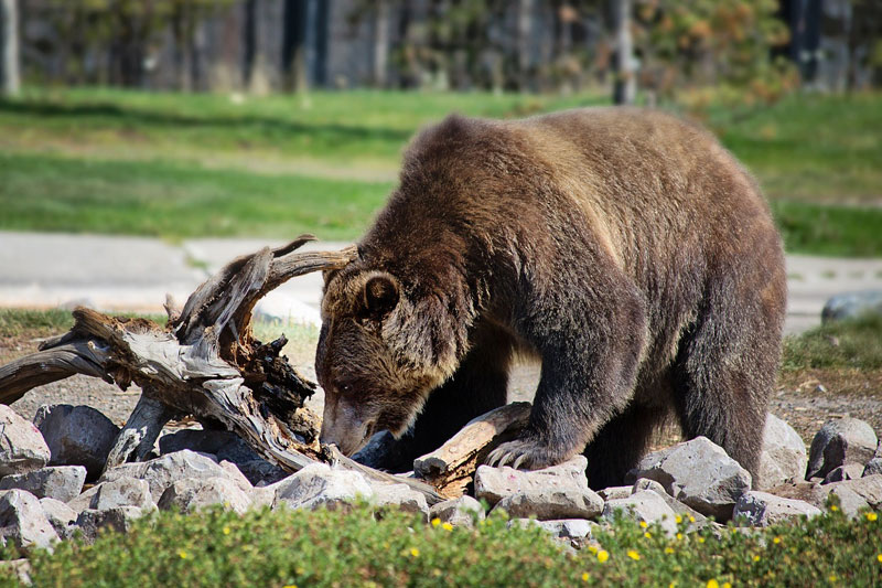 Grizzly bears in Canada