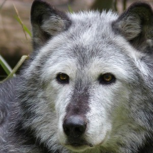 Canadian Wildlife - Wolf
