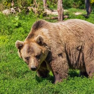 wildlife grizzly bear