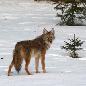 Canadian Wildlife - Coyote