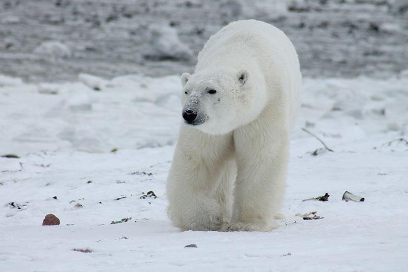 Manitoba Canada - Polar Bears