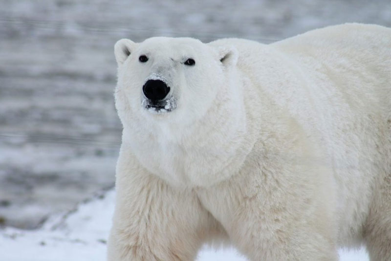 Polar Bear Viewing Sites
