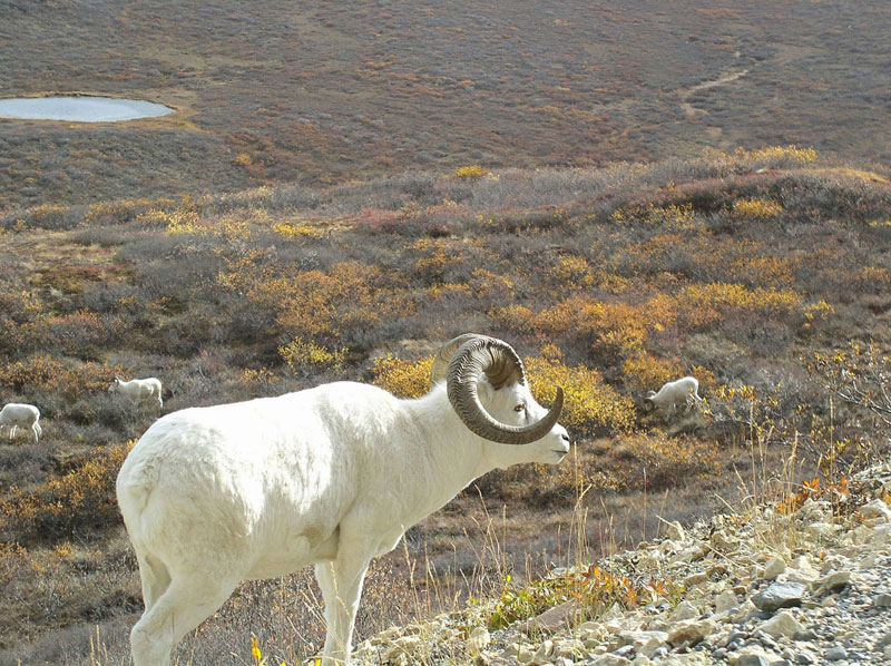 Dall Sheep - Canadian Wildlife