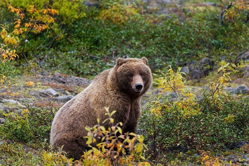 Grizzly Bear - wildlife Canada