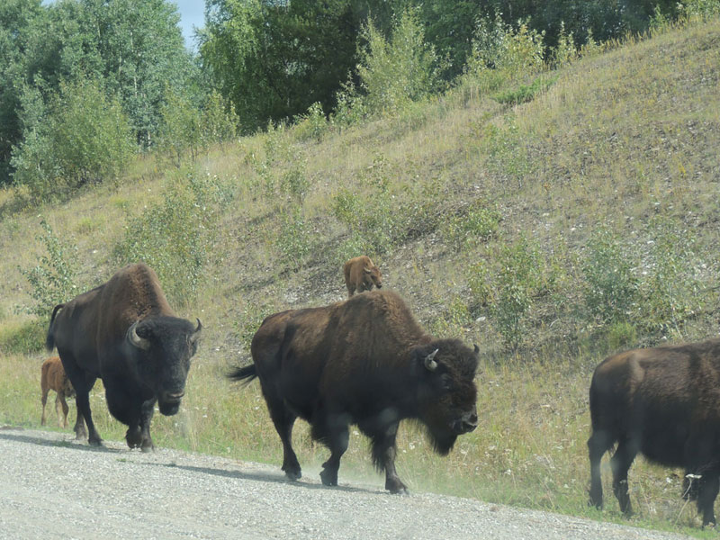 Buffalo along the Alaska Highway