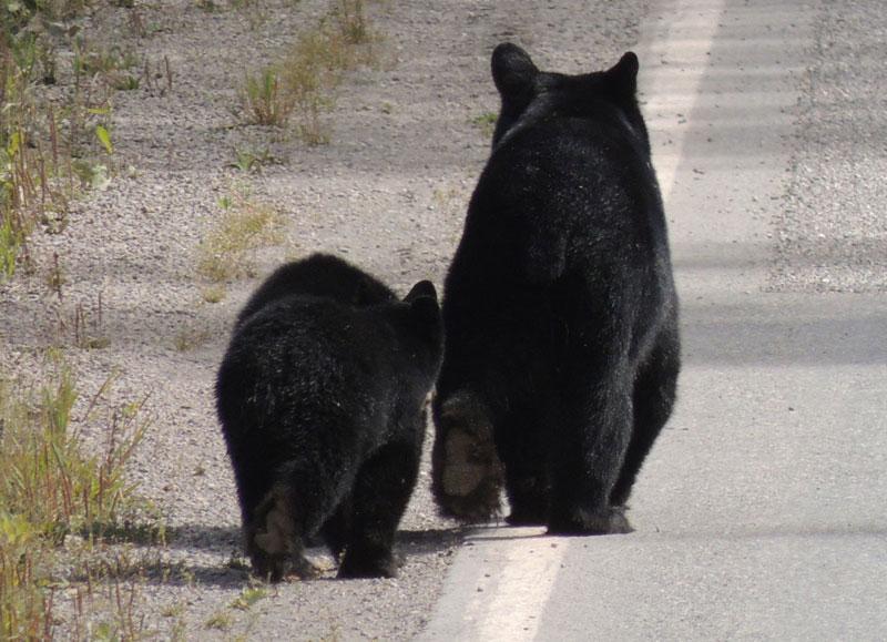 Stewart BC - bears