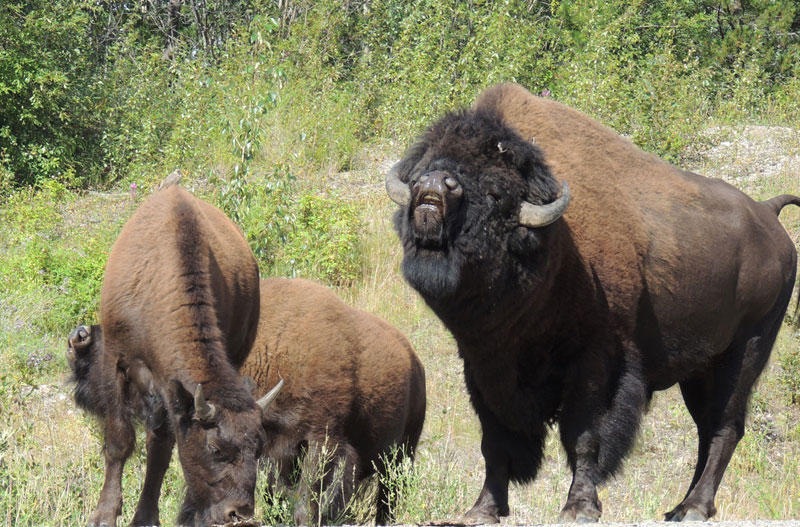 Yukon Canada - Buffalo