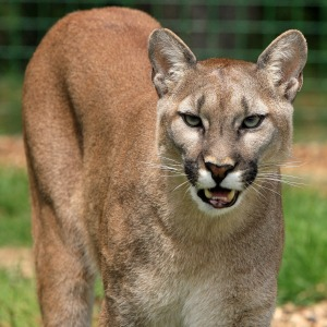 Canadian Wildlife - Mountain Lion - Cougar