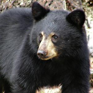 wildlife black bear