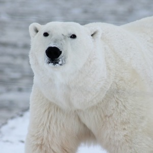 wildlife polar bear