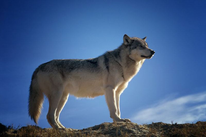 Wolfs in the Canadian Wilderness