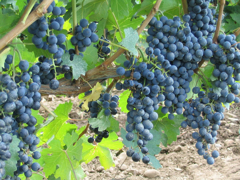 Wineries near Vernon BC - grapes