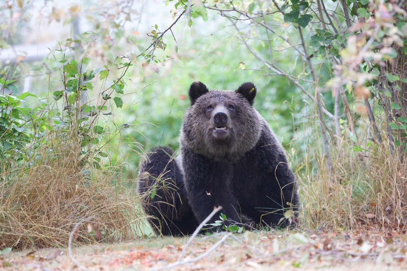 Grizzly Bears And Safety Tips Backcountry Canada Travel
