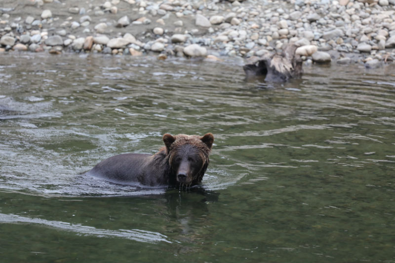 See Grizzly ears in the wilderness of Canada