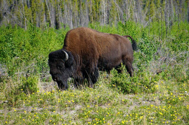 Wild Bison Northwest Territories