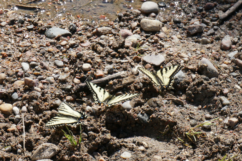Butterflies gathering at a rest stop on the Liard Trail