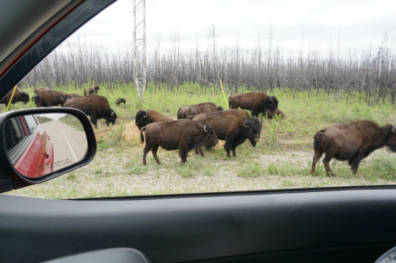 Bison Herds along Liard Highway