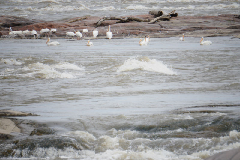 White Pelicans at the rapids of the drowned, Fort Smith NT