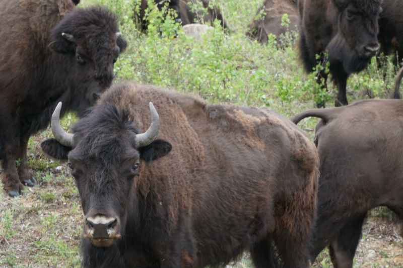 wild roaming wood bisons nwt