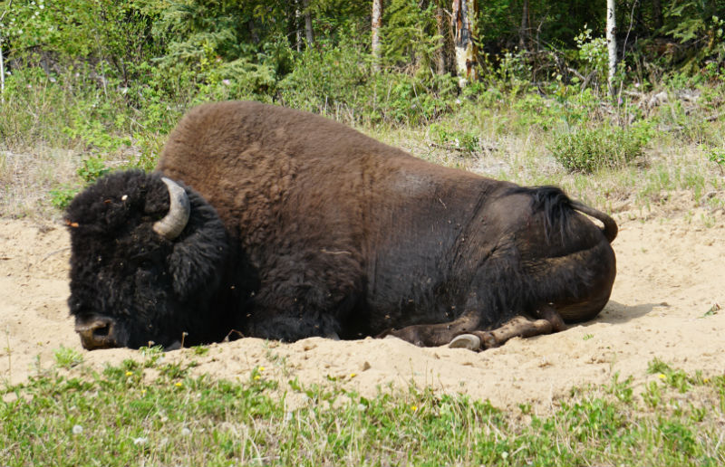 Wils roaming wood bison Fort Smith NWT