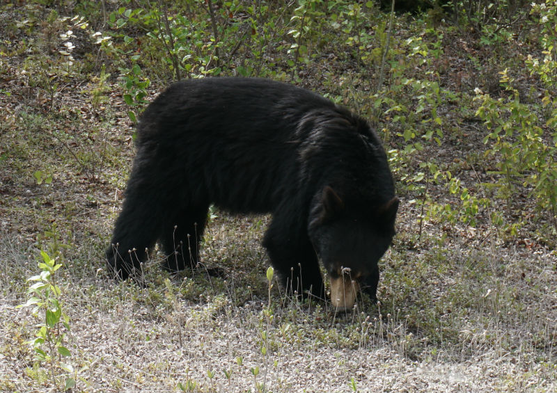 Black Bear along Waterfalls Route NWT