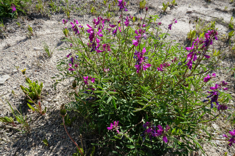 Wildflowers along Waterfalls Route NWT