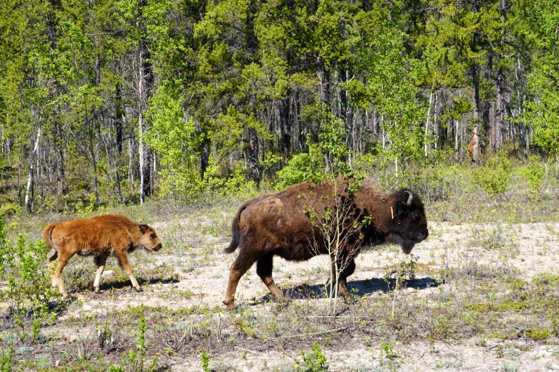 Bison with calf along Frontier Trail Route