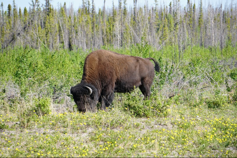 Bison on the way to Yellowknife on the FrontierTrail