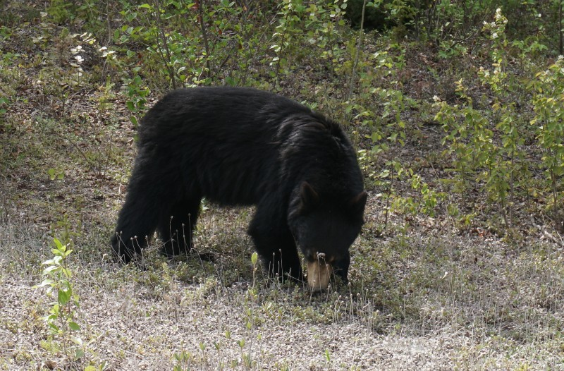 Black bears along northern highways